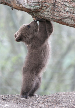 69shadesofgray:  BABY BEARS ARE THE CUTEST