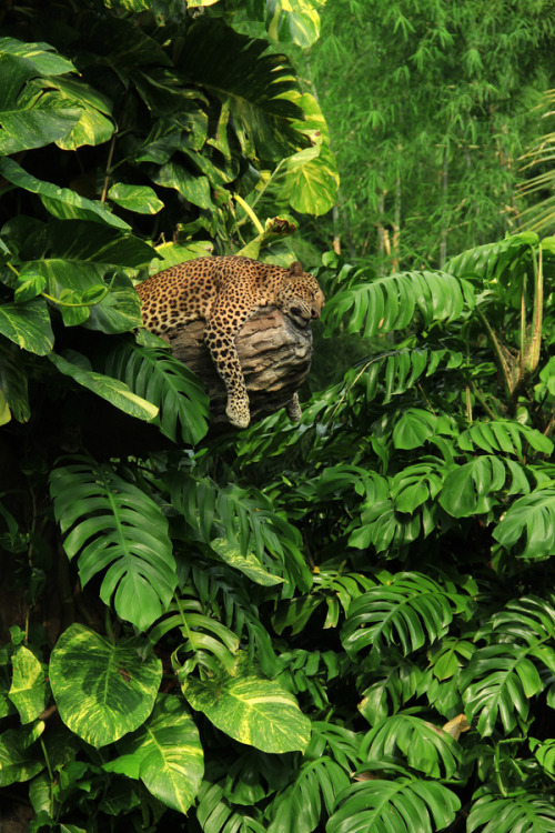 big-catsss:  Sleeping panther - Javanese Leopard in the jungle surroundings.  by Radu Frentiu