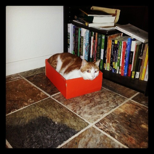 We buy him cat playpens only for him to use shoe boxes instead. Smh. #catsofinstagram #morrischeeto #catguy