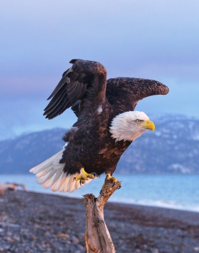 fairy-wren:  Bald Eagle. Photo by JWFisher