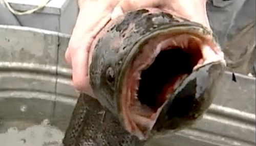 Predator fish that walks and breathes is on the loose in Central Park The northern snakehead, a voracious invasive species that can live out of the water for 4 days, is being sought in New York City.
