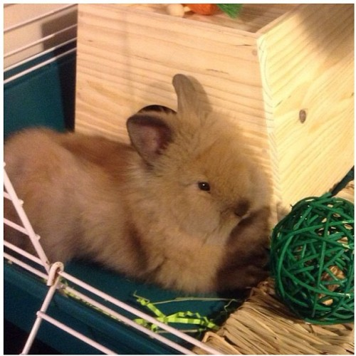 Please follow @loving_lola - a lionhead bunny my friend just adopted.  She will for sure put a smile on your face!!  She's too cute❤🐰