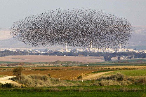 A flock of starlings flew over a field near Netivot, Israel, Thursday. (Photo: Amir Cohen / Reuters via The Wall Street Journal)