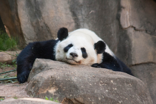 giantpandaphotos:  Yang Yang at Zoo Atlanta, Georgia, on May 13, 2013. © Fred Strobel.