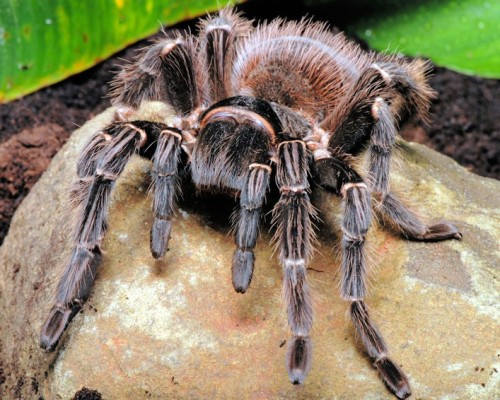 adorablespiders:  Goliath Bird-Eating Tarantula image source  Babies