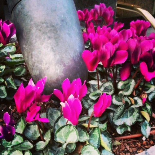 #flowers #april #spring #pink #dtla #california #losangeles #picoftheday #instabeauty