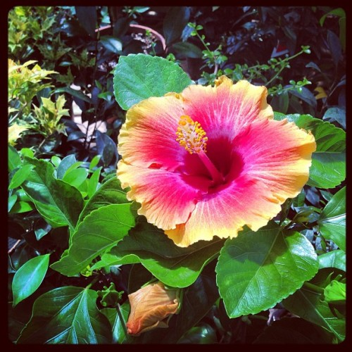 From my favorite place <3 #hibiscus #flowers #plants