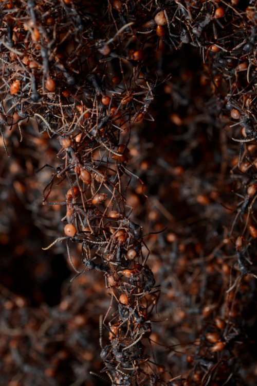 Army Ant Bivouac Army ants are nomads; their ferocious appetite means that they must  move to new regions every few days in order not to starve. As a result, they make a temporary nest constructed out of individual ants. Depending on the colony size, 150,000 - 700,000 worker ants link onto each other to form a structure 1m in diameter. The queen and larvae are protected near the center of the protective mass. Geoff Gallice on Flickr