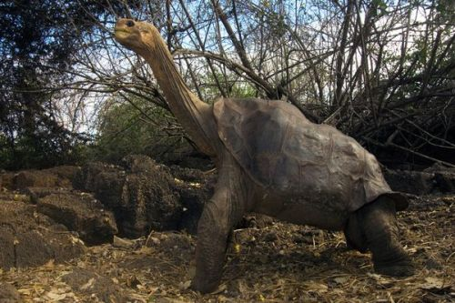 wtf-china:  Lonesome George (photograph by Pete Oxford)
