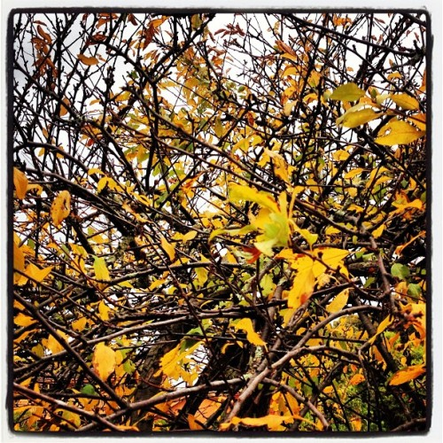 Balding #tree #leaves #autumn #colour