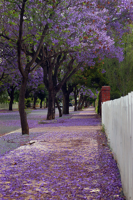 visitheworld:  Jacaranda street carpet in Adelaide, Australia (by Gadget Man).