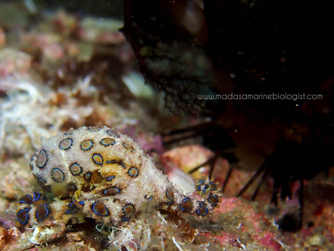 Blue-ringed Octopus by Samantha Craven Gato Island, Malapascua The tiny, yet highly venomous Blue-ringed Octopus (Genus: Hapalochlaena). This individual was about 5cm in size.
