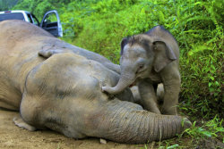 lifeasanudist:  dendroica:   Ten endangered Borneo pygmy elephants have been found dead in a Malaysian forest under mysterious circumstances, and wildlife officials said Tuesday that they probably were poisoned. Carcasses of the baby-faced elephants were found near each other over the past three weeks at the Gunung Rara Forest Reserve, said Laurentius Ambu, director of the wildlife department in Malaysia's Sabah state on Borneo island. In one case, officers rescued a 3-month-old calf that was trying to wake its dead mother. Poisoning appeared to be the likely cause, but officials have not determined whether it was intentional, said Sabah environmental minister Masidi Manjun. Though some elephants have been killed for their tusks on Sabah in past years, there was no sign that these animals had been poached…. The WWF wildlife group estimates that fewer than 1,500 Borneo pygmy elephants exist. They live mainly in Sabah and grow to about eight feet tall, a foot or two shorter than mainland Asian elephants. Known for their babyish faces, large ears and long tails, pygmy elephants were found to be a distinct subspecies only in 2003, after DNA testing. Their numbers have stabilized in recent years amid conservation efforts to protect their jungle habitats from being torn down for plantations and development projects. The elephants found dead this month were believed to be from the same family group and ranged in age from 4 to 20 years, said Sen Nathan, the wildlife department's senior veterinarian. Seven were female and three were male, he said. Post-mortems showed they suffered severe hemorrhages and ulcers in their gastrointestinal tracts. None had gunshot injuries.  (via 10 dead Borneo pygmy elephants feared poisoned - Yahoo! News)  heartbreaking