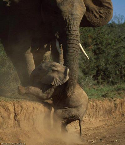 Baby elephant helped up by her mother.