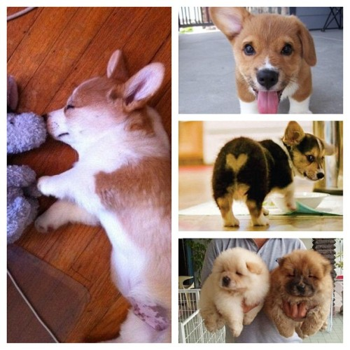 So… I'm productive. #puppy #corgi #chow #adorable #iwantone #orthree