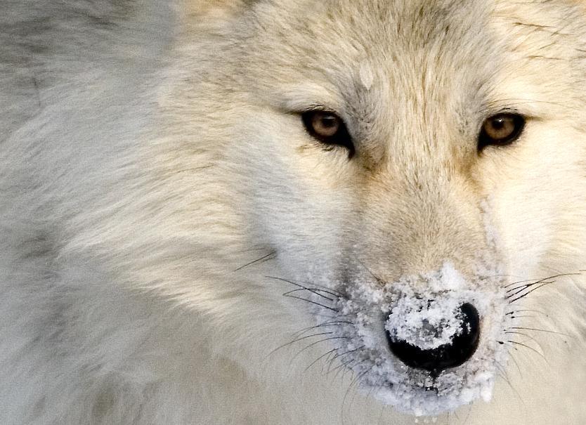 "wolfsheart-blog: ""Wolf by Eibar. """