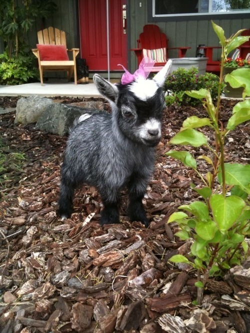 I want this goat! Adorable! And my coworkers give me a hard time about wanting a baby goat. I mean who wouldn't want this girl?