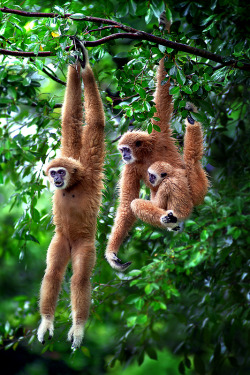 funnywildlife: earth-song:   Giboon Exercise by ~SAMLIM