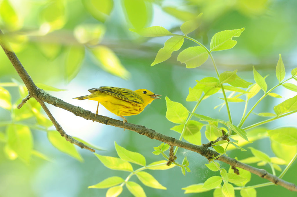 Yellow Warbler (by affinity579)