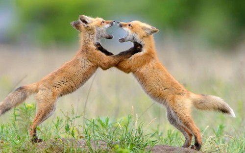 theanimalblog:  Two fox cubs rear up to each other in a bid to create a social pecking order within their den. The symmetrical moment was captured at an old US cavalry fort in Montana by wildlife photographer Andrew Kandel.  Picture: Andrew Kandel/Solent News & Photo Agency