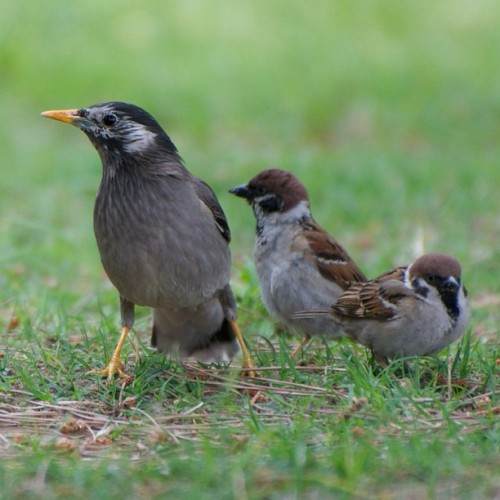 椋鳥と雀 Sparrow and starling #japan #tokyo #bird #birds #Sparrow #starling