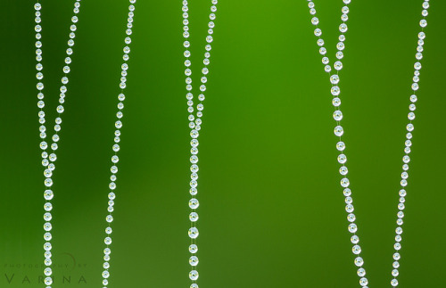 The Spider's Pearls by Varina Patel on Flickr.