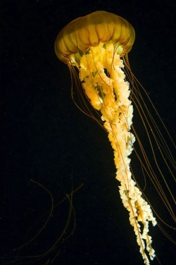 eqiunox:  Sea nettles by Jim Zuckerman