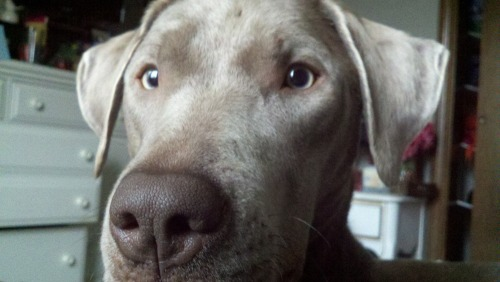 handsomedogs:  My Silver Lab, Cali.