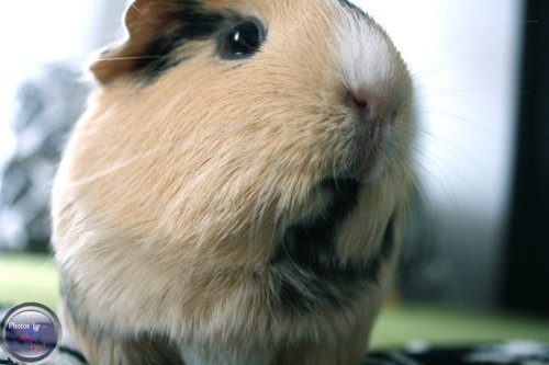 th4t0n3g1rl:  This is my guinea pig. ;3 isn't she adorable??!  Très adorable!