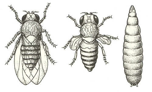 factstofigures:  Fruitflies (Drosophila) - From left: wild form, stubby winged 'vestigal'-form, larva. Sterba, G. and Mills, D. (Eds.) (1983). The Aquarium Encyclopedia. Poole: Blandford Books Ltd.