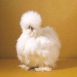 fluffy idk chicken fluffy chicken will i regret this ignore me and my stupidity
