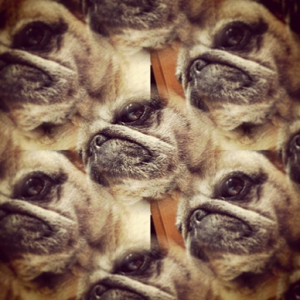 ilovepugs:  this is kinda dope lamacellaia:  😘 #pug #puglife #truelove