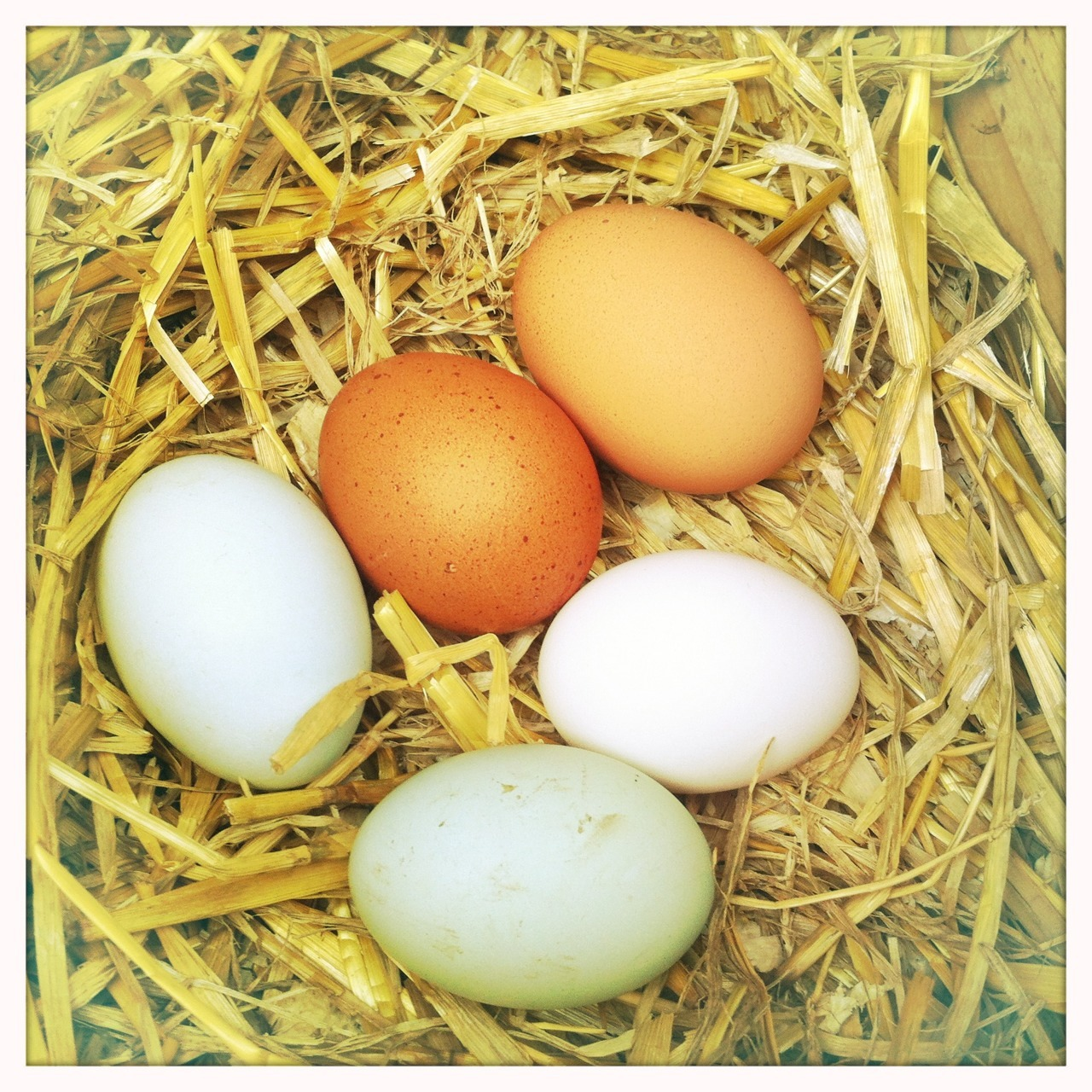 Despite the cold weather, as the days get longer, our chickens get more productive. Dottie and Doris, copper black hybrids who lay the brown eggs, are two years old and lay almost every day, year round. The other four are 18 months older and so are getting a bit middle aged in chicken terms so their production is slowing down. They are also rare breeds so lay less in the winter, if at all. Florrie is a black leghorn and lays white eggs, Betty and Ivy are cream legbars who lay pale blue eggs and Olive is a very rare Wernlas who lays greenish eggs. Now that the equinox has passed, they are all in lay but because of their age, we rarely get six egg days and even five egg days like this one are getting less common. We still have plenty for us plus the odd half dozen to sell, trade or give away so I'm not concerned. Keeping chickens has proved to be a great pleasure in my life and I love seeing them pottering round the garden and hearing their comforting sounds. When the time comes that we start to lose our ladies I think I will replace them with a mix of hybrids and rare breeds because it's important to support these older breeds. I don't mind having less eggs in the winter, it's all part of the rhythm of the year. And anyway, who wouldn't want to collect a clutch of eggs as multi coloured and beautiful as these?
