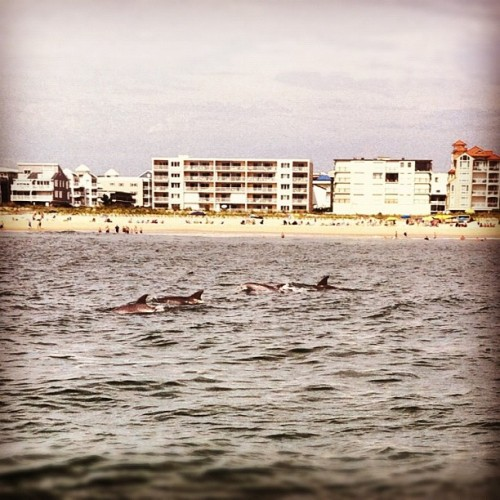 Reblog if you love catching a glimpse of dolphins jumping off shore.  Image from Maryland.