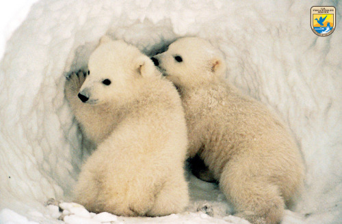 "Polar Bear Cubs Intend to Build Best Snowman Ever Simon and Randy, two polar bear cubs from Fairbanks, AK, have been planning a major snow engineering project since Christmas.  As soon as there is adequate snow cover on the ground and an extended streak of cold weather, the pair hope to put their plan into action. ""They're planning to really put Fairbanks on the map,"" said city councilwoman Anne Fitchker.  ""I've seen the plans, and it is impressive."" While neither Fitchker now the bears would release any more information about their snow art installation, The Fluffington Post has learned from sources familiar with the situation that Simon and Randy are planning to build a snowman of ""at least 23 feet in height.""  Weather permitting, they hope to complete the project by mid-March. Via USFWS."