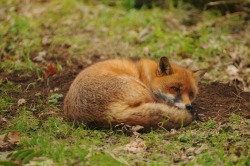 llbwwb:   Nitey nite beautiful friends:) Fox, Dartmoor Zoological Park (by chriswilson4646)