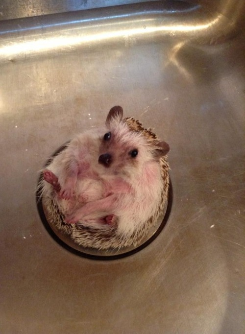 hoping-for-garrus:  My friend was giving her pet hedgehog a bath and he accidentally fell into the drain in the sink.