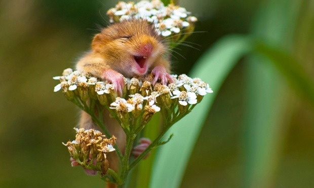 "letsbuildahome-fr:  ""Spring, Finally!!!""  A Dormouse appears to be laughing as it sits on top of a yarrow flower. The amusing photograph, taken by Italian photographer Andrea Zampatti, in Italy, shows how the heat had a strange effect on this little critter.  Photograph: Andrea Zampatti/HotSpot Media"
