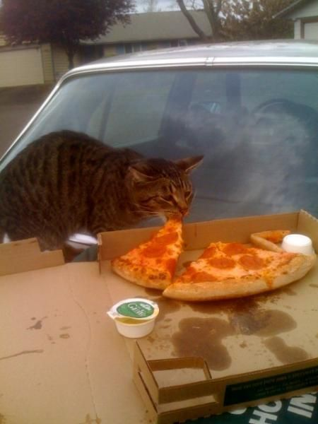 trash bird scavenger pizza kitteh GPOYYYY