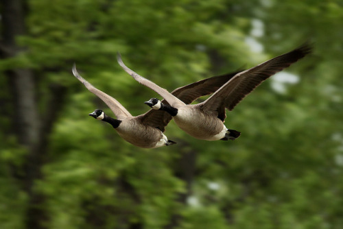 deboracpq:  Couple in Flight by Gator 5 on Flickr.