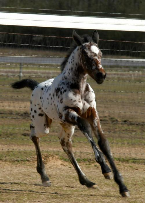kremeroyale:  From Altamont Sport Horses:  Bay Leopard Appaloosa Filly (Hollywood Hot Spot x Waps A Daisy), foaled 02/26/2013. Beautiful, big, leggy girl with the same people-friendly disposition of her siblings by Hollywood Hot Spot.  All photos taken at 1 week of age at 1st turnout.  She's picking up those knees and showing off her flying lead changes on her first trip outside. This one is going to be a dressage super star.  Ohmygoodness my Appy filly uterus. Born two days after, too. Someone buy me this pony?
