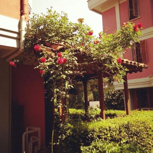 Relaxing Sunday:)) #roses #garden #homesweethome #sunday #happiness
