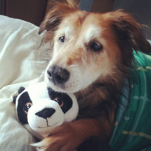 Cutest thief ever! #cute #pet #dog #panda #teddy #aww #snuggle