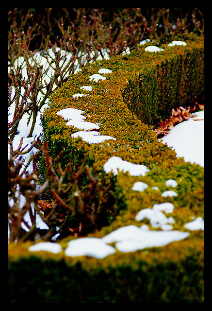 Hedge with snow by CarlosDiVega on Flickr.