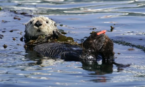 It's not too late! Help save sea otters when filing your California tax return! Learn more.