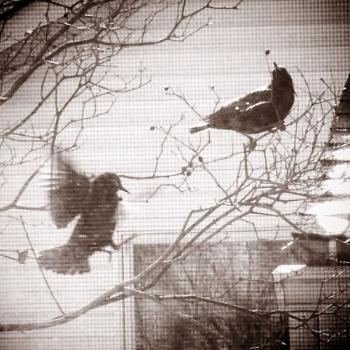 Outside my window just now - the hunt for winter berries. A gang of #grackles jumping from bush to bush, fighting for the last of the berries. #birds #window #winter #berries #nature