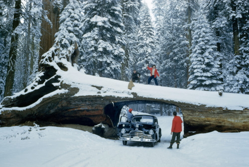 natgeofound:  Tourists explore massive dead tree with tunnel cut out for a road in Sequoia National Forest, May 1951. In December 2012, we published a portrait of a giant 247 ft Sequoia called the President.Photograph by Andrew H. Brown, National Geographic