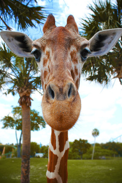 Giraffe  | via Tumblr on We Heart It - http://weheartit.com/entry/62121634/via/sweetsandy   Hearted from: http://petrichorchatoyant.tumblr.com/post/50959671346/earthandanimals-reticulated-giraffe-up-close