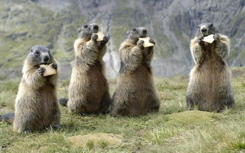 belas-imagens:  mostlyanimals91: nprfreshair: Snacktime!  ~ beavers and triscuits ~ castores e triscuits  holy fuck!