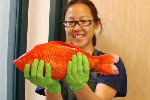 breakingnews:  Scientists find 4-pound goldfish in Lake Tahoe LiveScience: Scientists searching Lake Tahoe for invasive fish species ended up finding an unusually large goldfish. The fish, weighing in at 4.2 pounds and measuring nearly 1.5 ft. long, was likely dumped in the lake by an aquarium owner. The fish is one of about 15 found in a certain part of Lake Tahoe. Scientists are concerned as goldfish are considered an invasive species that could wreak havoc on Lake Tahoe's ecosystem.  Photo: Handout / Reuters  Woah. This guy is a beast.